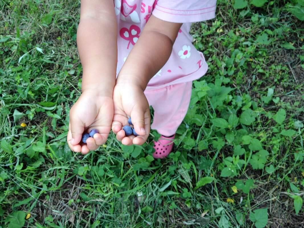 ブルーベリー 無農薬でも育てやすい果樹、庭植えにおすすめの果樹