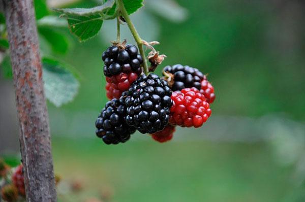 クワの実 無農薬でも育てやすい果樹、庭植えにおすすめの果樹