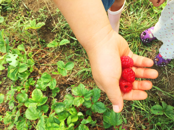 ラズベリー 無農薬でも育てやすい果樹、庭植えにおすすめの果樹