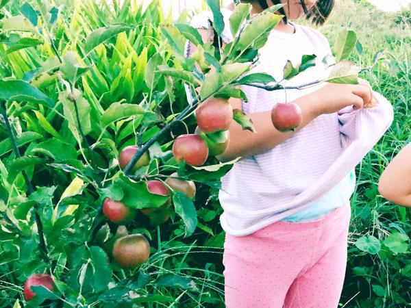 アルプス乙女(姫りんご)無農薬でも育てやすい果樹、庭植えにおすすめの果樹